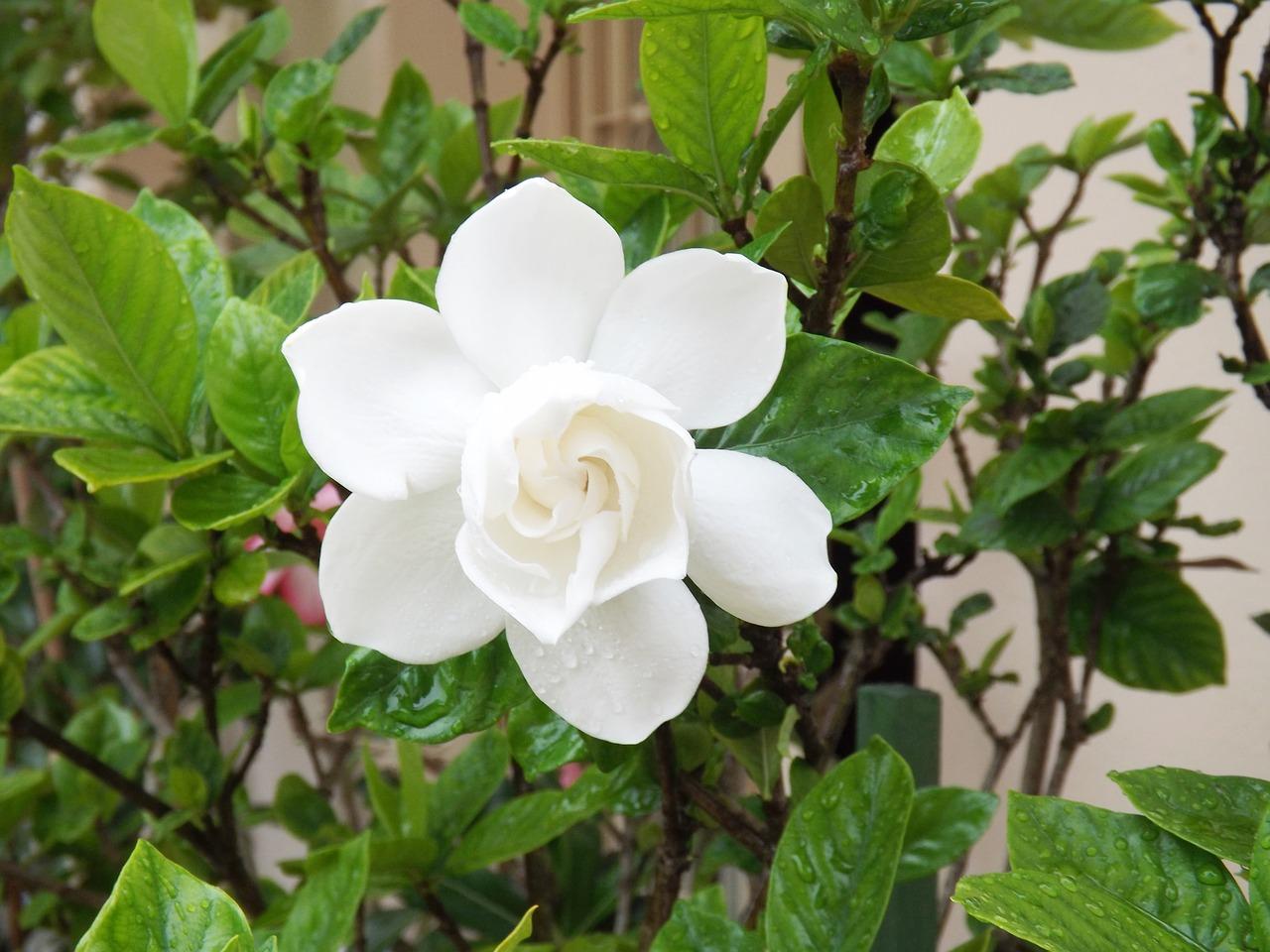 gardenie pflege