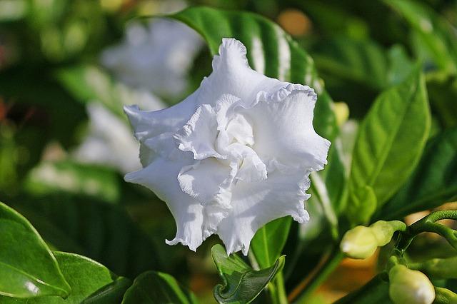 Gardenie Gardenia jasminoides