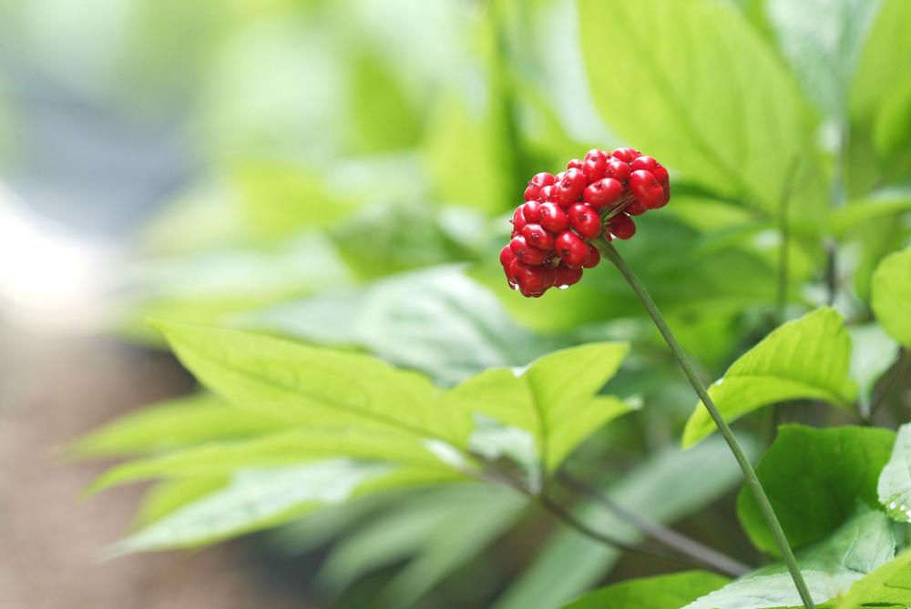 Ginseng anbauen: So gelingt der Anbau in Eigenregie