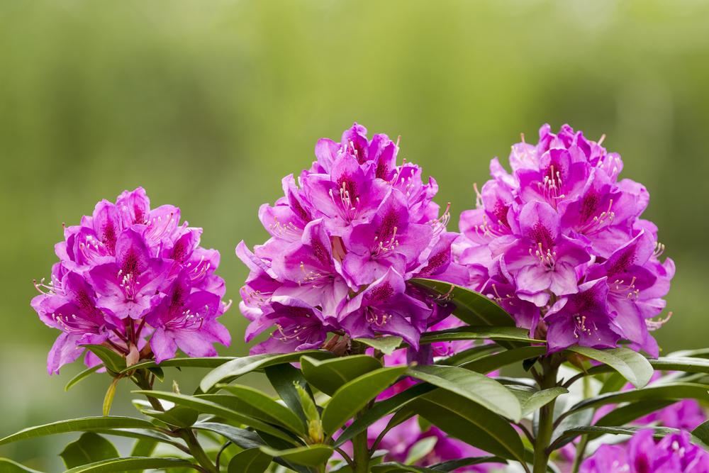 Rhododendron im Kübel