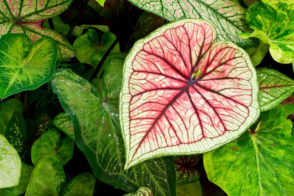 Kaladie (Caladium): Richtig pflanzen, pflegen und vermehren