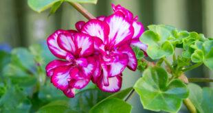 Englische Geranien: Richtig pflanzen, pflegen und vermehren