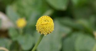 Parakresse: Grundlegendes, Anwendung und Wirkung der Pflanze