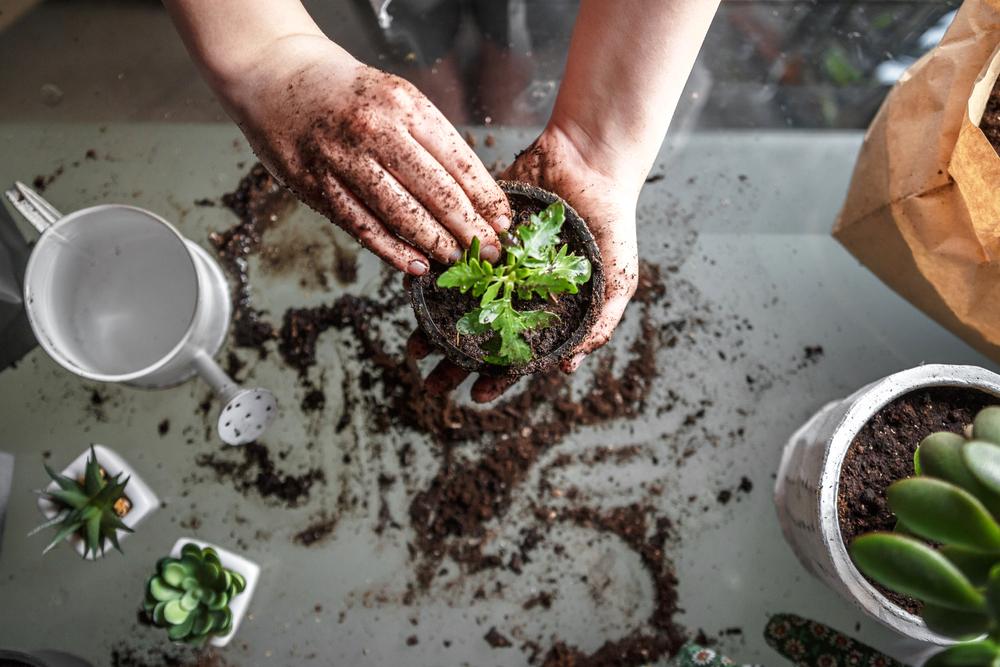 Parakresse pflanzen