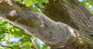 Schädlinge der Eiche rechtzeitig erkennen und beseitigen